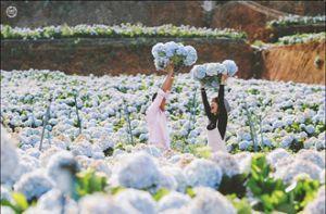 Giới trẻ ùn ùn check-in vườn cẩm tú cầu đẹp ngất ngây ở Đà Lạt