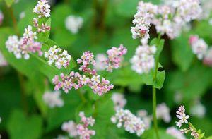 Mùa hoa tam giác mạch trên cao nguyên đá Hà Giang