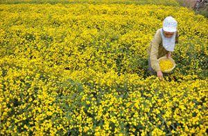 Vàng óng cánh đồng hoa