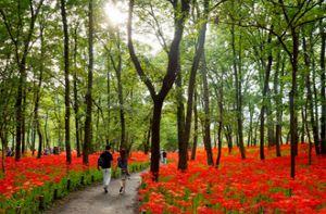 Công viên ngập tràn sắc đỏ hoa bỉ ngạn ở Nhật Bản