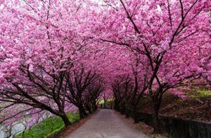 Đắm mình với hoa anh đào tại Đài Loan