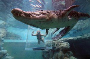 Bơi trong bể cùng cá sấu, bạn dám không?