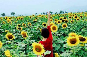 Tháng 12, về Nghệ An thăm cánh đồng hoa hướng dương