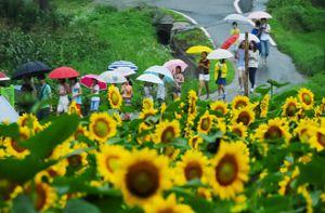 Du khách ùn ùn kéo đến ngôi làng hoa hướng dương