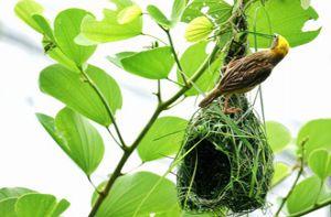 Góc ảnh lữ hành: Kiệt tác xây tổ của chim dòng dọc