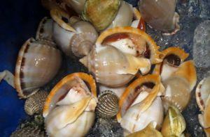 Ốc tỏi, món ngon biển đảo Tây Nam